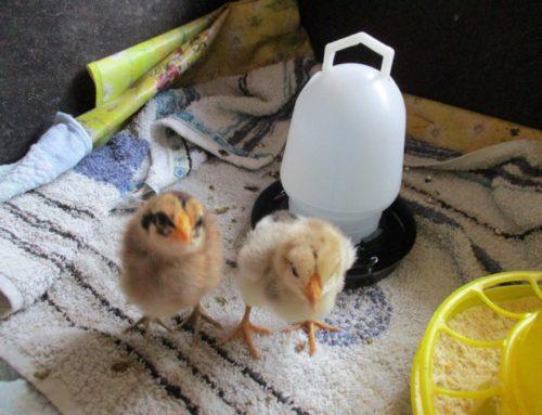 """""""Vom Ei zum Huhn"""" – Nachwuchs im Montessori Kinderhaus"""